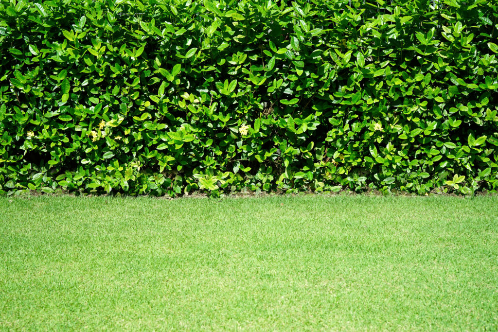 A tall hedge surrounding a backyard lawn.